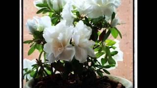花散歩 今朝の花 睡蓮の花 #花 #flower