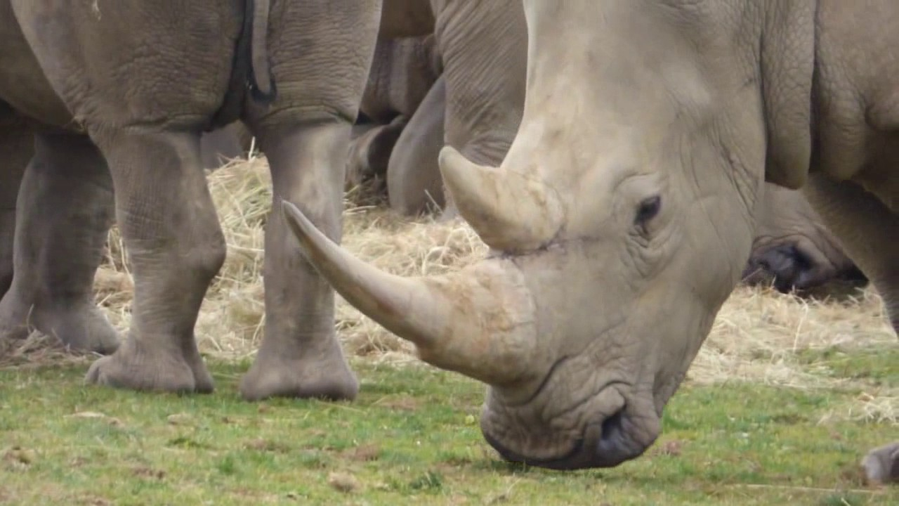 a discussion on the endangerment of rhinoceros The rhinoceros, an endangered species in nepal this study uses a model to explain the level of poaching in royal chitwan national park (rcnp) over a 30-year period, based on the factors.