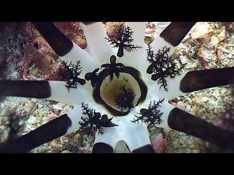 """Polychaete worms and sea cucumbers. Part 23 of my DVD, """"Reef Life of the Andaman"""", available at http://www.bubblevision.com/marine-life-DVD.htm  First we look at a feather duster worm, Sabellastarte sp., at Shark Cave in the Burma's Mergui Archipelago, and a hard tube coco worm, Protula bispiralis, at Richelieu Rock, north of the Similan Islands in Thailand. These polychate worms are rooted statically to the reef and feed by filtering plankton from the water with their tentacles and passing it into the central mouth.  Colorful Christmas tree worms, Spirobranchus giganteus, are common at many dive sites throughout the Andaman Sea. They embed themselves into porous stony corals and are highly sensitive to disturbances. At the slightest sign of danger, the worm retracts into the coral and seals the opening.  Also seen in the Mergui Archipelago, the large burrowing sea cucumber, Neothyonidium magnum, a type of Echinoderm, is another filter feeder. It roots itself into the substrate and holds its outer tentacles in the current. When it has captured sufficient plankton the tentacles reach down toward the centre, allowing the smaller inner tentacles to scoop the food into the mouth.  The Graeffe's sea cucumber, Pearsonothuria graeffei, is common at shallow depths in the Andaman Sea. Its mouth contains 25 adhesive black tentacles which it uses to walk over the reef and to pick up food from the substrate.  The mouth of the amberfish sea cucumber, Thelenota anax, contains 18 tentacles and is underneath the body. After digesting what it can from the material it has ingested from the seabed, the waste products are expelled at the anus. The sea cucumber also breathes through the anus by sucking water in and out.  The full narration is available as English, German or Spanish subtitles by turning on the closed captions (CC). There are also closed captions available showing scientific and common names of the marine life in English, German or Dutch, along with dive site names.  """"Ree"""
