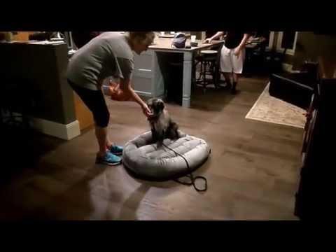 4 Month Aussie Doodle Puppy Training - Dog Training Peachtree City Ga