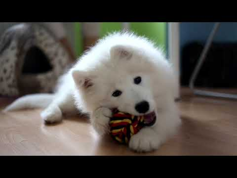 Sasha ~ 3 months old  [Samoyed puppy]