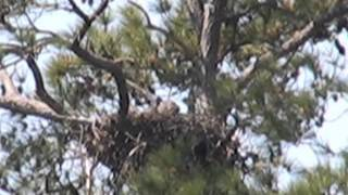 Two Eaglets at Wildlife Drive Nest - Blackwater NWR on April 8, 2012