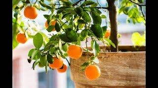 The Best Fruit Trees for Containers, Pot Sizes, Requirements & More!