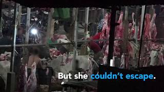 Cows Slaughtered by Being Bashed in the Head With Sledgehammers