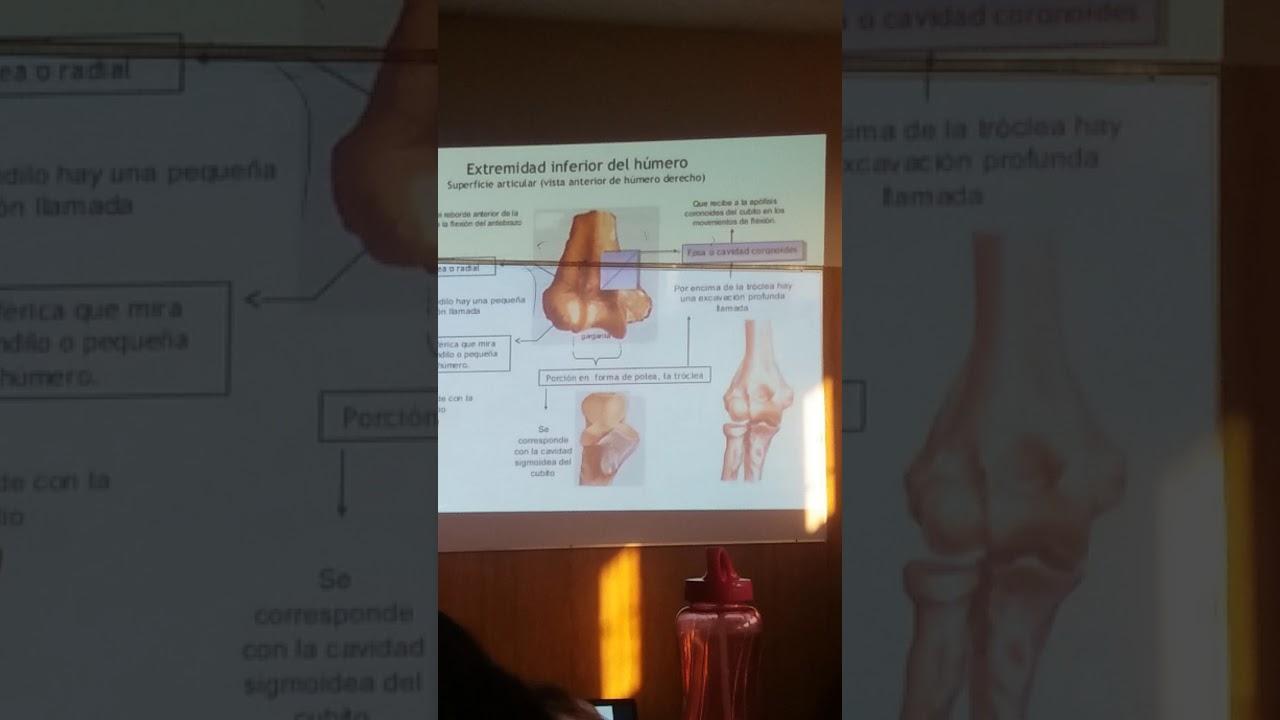anatomía brazo - YouTube