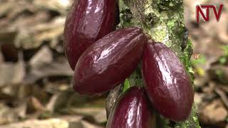 ON THE FARM: How to grow Cocoa  Part 1.