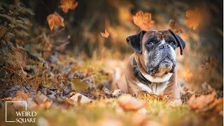 Boxer Dog Facts | Animal Facts | Respond much better to positive reinforcement