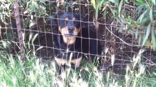 Rottweiler Growling And Barking