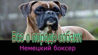 Немецкий боксер описание породы! Все о породе собаки!