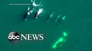 Drone footage gives inside look at lives of killer whales l ABC News