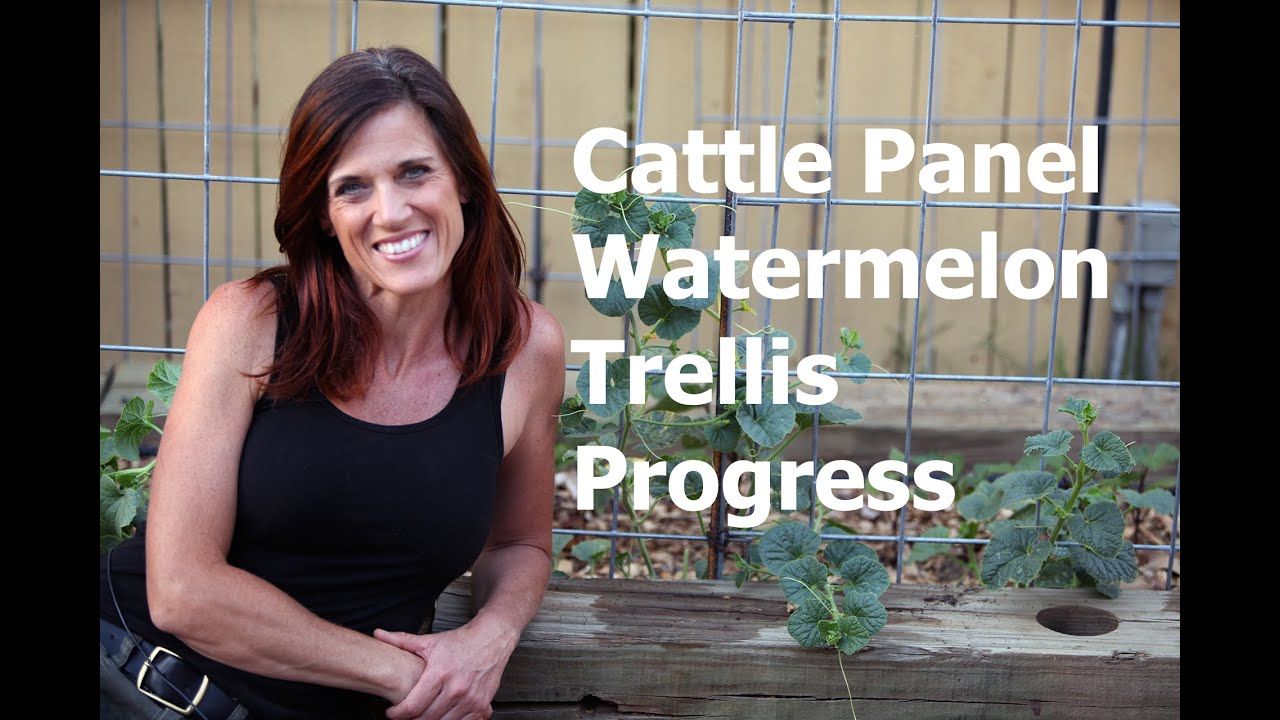 Cattle Panel Vertical Watermelon Trellis Progress And Care