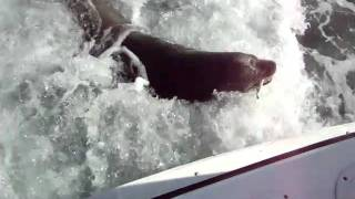 Sea Lion On Back of Boat Cabo San Lucas, Mexico