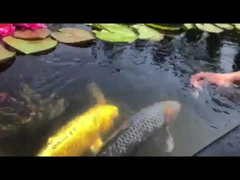 Рыбный экопруд, карпы кои