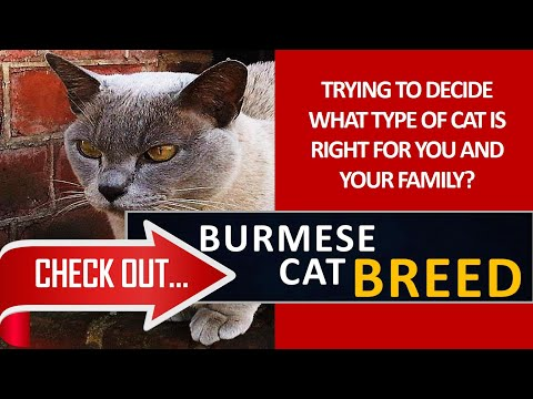 What type of cat is right for you? Check out the Burmese Cat Breed