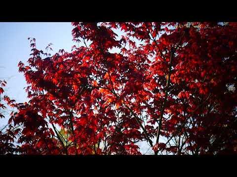 Японский декоративный красный клен.(Acer japonicum)