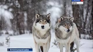 Волки все чаще заходят в населенные пункты и нападают на собак(ГТРК Вятка)