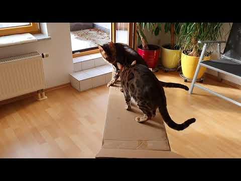 Bengalkatzen sinnvoll beschäftigen