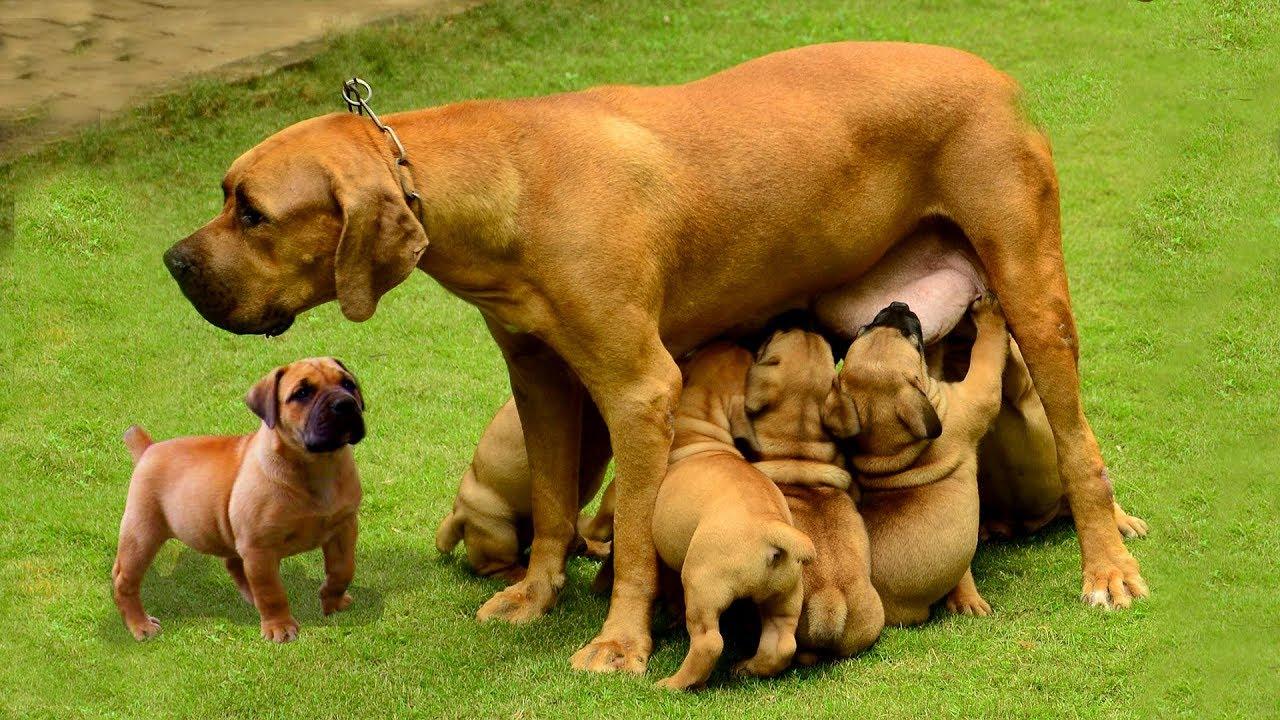 Cận Cảnh Chó Ngao Nam Phi Lần Đầu Sinh 7 Cún Đáng Yêu