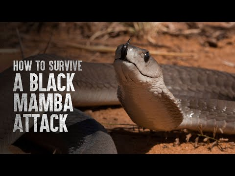 How To Survive a Black Mamba Attack