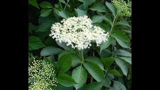 Полезные свойства черной бузины/ Лимонад из цветов