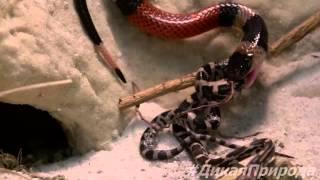 Коралловая змея пожирает крысиную змею