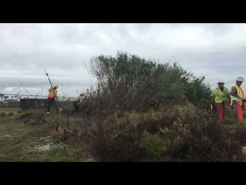 removing Brazilian peppertree in Port Aransas Feb'17