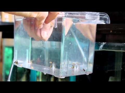 How To Strip African Cichlid Fry