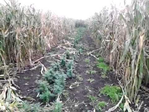 Wietteelt tussen de mais