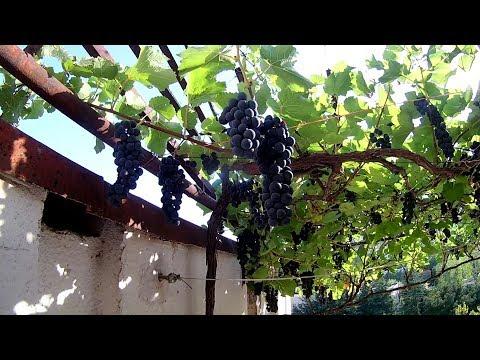 Вопрос: Может ли виноградная лоза расти не вверх, а вниз – например, с балкона?