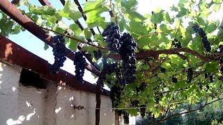 видео Виноград Агат Донской – все этапы выращивания + Видео