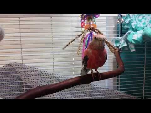 """Rosey Bourke Parakeet Singing/""""Talking"""""""