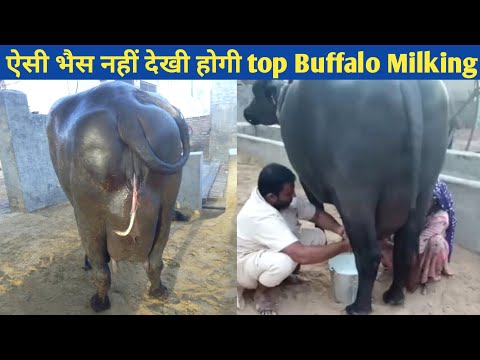 Super Quality murrah Buffalo SARASWATI 🔴LIVE Milking @Dhanda dairy farm haryana india