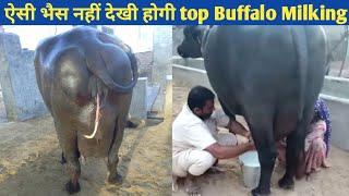 Super Quality murrah Buffalo SARASWATI 🔴LIVE Milking @Dhanda dairy farm haryana india
