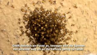 Jungspinnen im Frühling (Kreuzspinne - Araneus Diadematus)