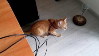Коту не нравится шлейка
