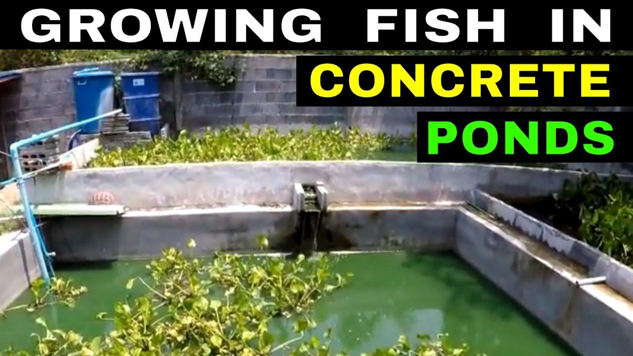 thai fish breeding stock ponds u0026 thai tilapia rural life thailand