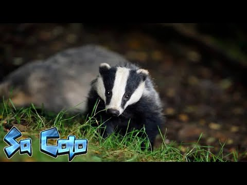Badger cull fueling illegal wildlife crimes, charities claim
