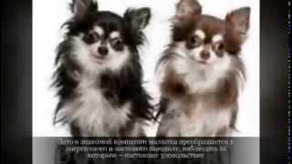 Маленькие породы собак ЧИХУАХУА