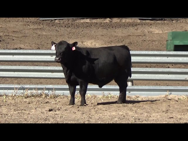 Connealy Angus Lot 72