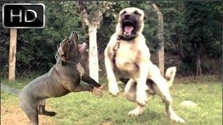 Kangal Vs Pitbull fight