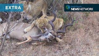 Lions take down kudu in dramatic hunt