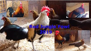 Real Red Jungle Fowl Crow And Chicks 3/ 13/ 2019