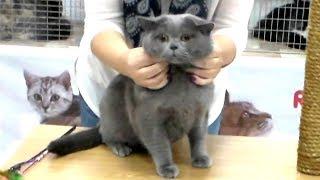 Скоттиш Страйт как Британец, Супер Классный Плюшевый Кот | ПОРОДЫ КОШЕК