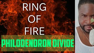 How I divided my Ring of Fire Philodendron