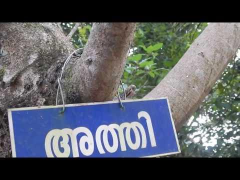 Athi, Fig Tree, gular , atti, ficus glomerata