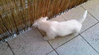 My 10 Weeks' Old Westie Puppy - Arnie Playing And Jumping At The Balcony