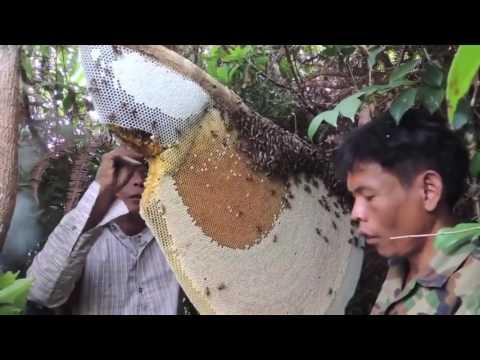 Сбор меда в Камбодже