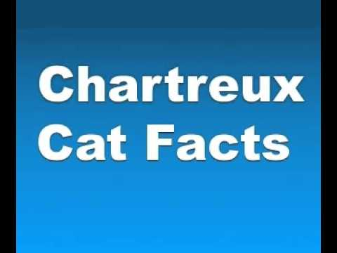 Chartreux Cat Facts - Facts About Chartreux
