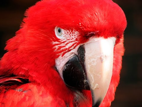 the story of the red parrot revisited,funny,comedy