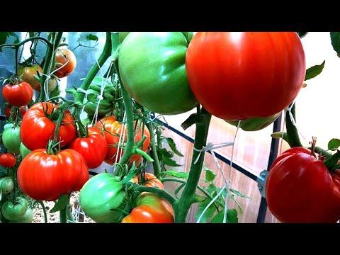 Выбор томатов на 2021 - от зарекомендованных сортов 2019 г